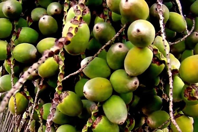 Imagem de Licuri - O coquinho da Bahia que alimenta e cura